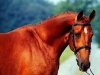 cheval-a11-t